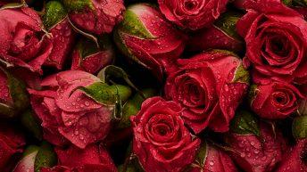 Sieh die Rosen!